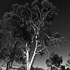 Majestic gum tree on a country road by Lee Hopkins