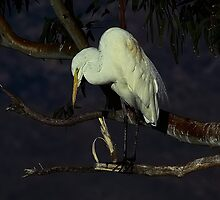 020609 Great White Egret by Marvin Collins