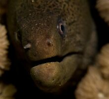 Moray Closeup by Philmed