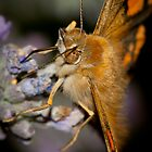 Painted Lady by SwampDogPhoto