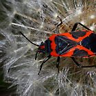 Small Milkweed Bug on Dandelion by Kane Slater
