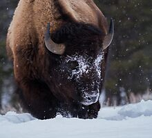 Hungry Bull Bison by Rose Vanderstap