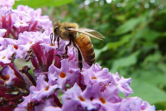 Honey Bee by Trish Meyer
