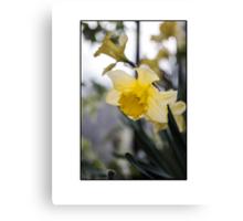 Fair Daffodils Canvas Print
