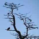 Bald eagles Oregon coast by Hannah Fenton-Williams