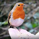 """"""" I'm sorry it's another Robin"""" (but this one was special) by mrcoradour"""
