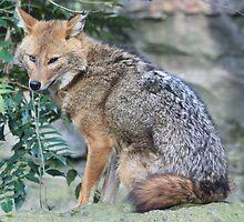 Golden jackal (Canis aureus) by DutchLumix