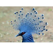 Victoria Crowned Pigeon (Goura victoria) Photographic Print
