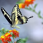 Giant Swallowtail on Lantana by ArtbyBart