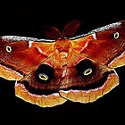Giant Silkwing Moth by ArtbyBart