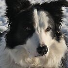 Border Collie - Murphy by Andrew Connor Smith