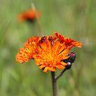 orange flower by digitalanomaly