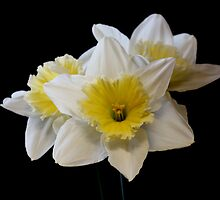 White & Yellow Daffodils by AnnDixon