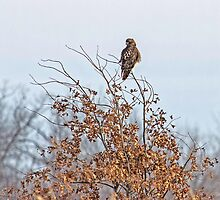 Hawk In A Bush by Thomas Young