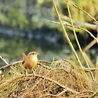 Little Jenny Wren! by weecritter