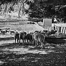Sheep'n'shade'n'shed by Maree Cardinale