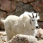 Mountain Goat by kchase