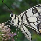 Chequered Swallowtail (Papilio demoleus) - Coromandel Valley, South Australia by Dan &amp; Emma Monceaux