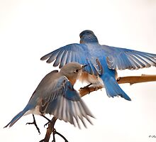 Blue Birds in the Winter by Randy & Kay Branham