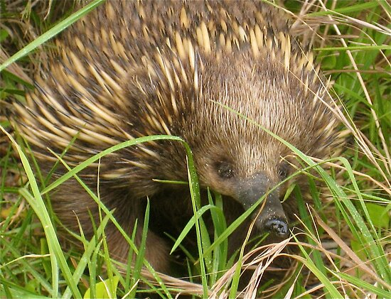 Echidna Eye Spy by peasticks