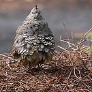 Mrs Californian Quail in the latest fluffed up fashion...........! by Roy  Massicks