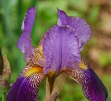 Purple Bearded Iris by mcstory