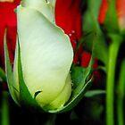 Beautiful roses by Lorna Taylor