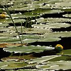The River Shallows - Water Lilies by Debbie Oppermann
