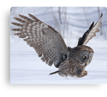 The plight of the great grey owl Canvas Print