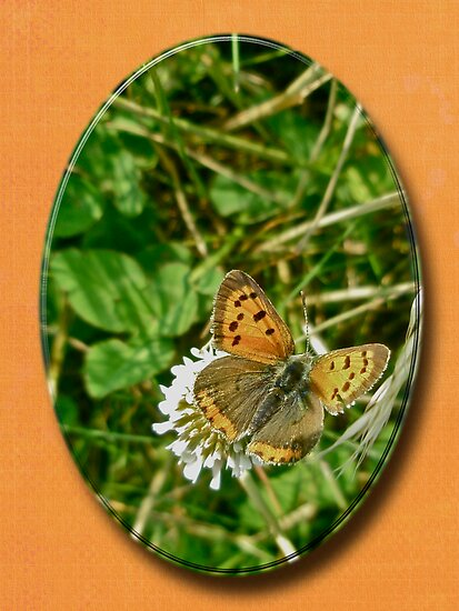 American Copper Butterfly - Lycaena phlaeas by MotherNature