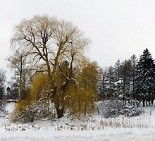 Weeping Willow on a snowy day by bradleyduncan