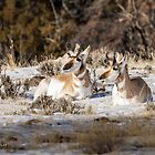 Camouflaged Pronghorns      by Rose Vanderstap