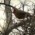 Cardinal (Female) Candy by Kimberly Chadwick