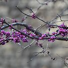 Redbud tree by Kate Farkas