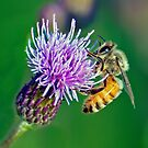 BUSY BEE by Raoul Madden