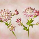 Astrantia major 'Roma' by Jacky Parker