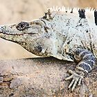 Iguana by Ticker