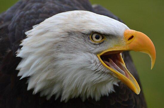 Bald Eagle III by Peter Wiggerman