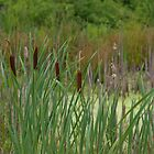 cattails in July by Ren Provo
