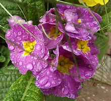 The Primrose Heralds the Transition of Winter Into Spring by seeingred13