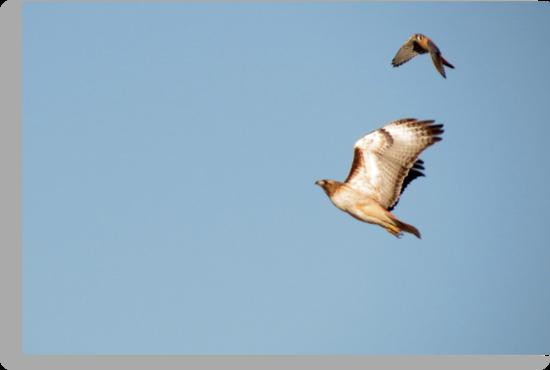 Red-tailed Hawk vs. American Kestrel  by Kimberly Chadwick