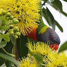 Lorikeet Heaven by byronbackyard