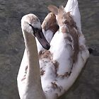 Cygnet by beracox