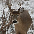 Deer by buskyphotos