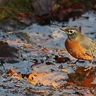 Robin by buskyphotos
