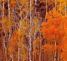 Aspen Grove in Orange by Joel Meaders