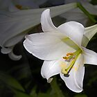 Easter Lily by cclaude
