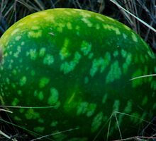 Paddy Melon (or is it St Patrick's Weed) by myraj