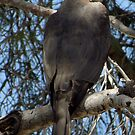 Coopers Hawk ~ Over the Shoulder by Kimberly Chadwick