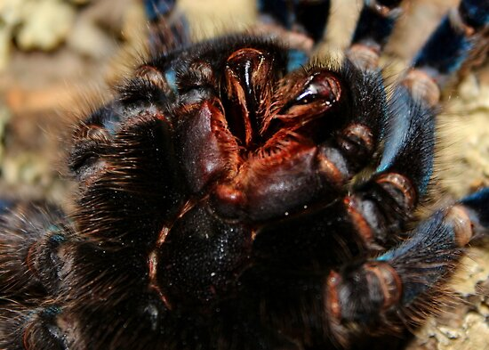 Mouth Parts and Fangs of a Cobalt Blue Tarantula by AnnDixon
